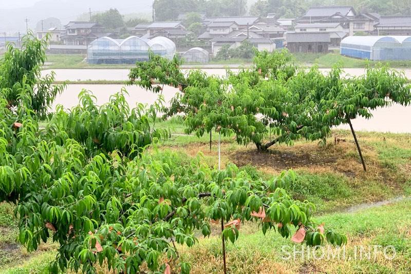 後藤農園の清水白桃